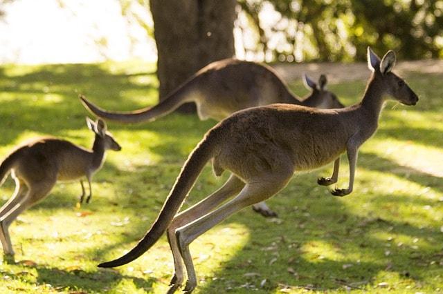 Australia La tierra de los canguros y los koalas