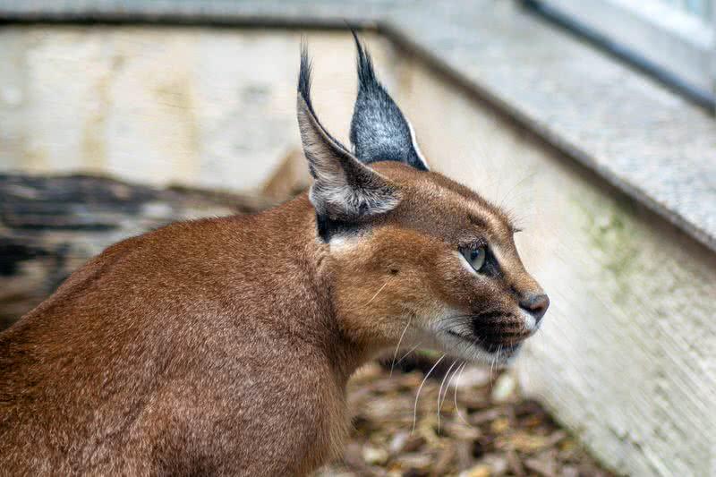 1603764851 818 Los 10 gatos salvajes menos conocidos del mundo