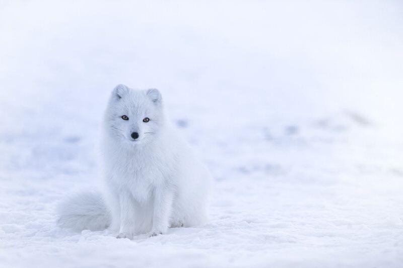 Zorros árticos