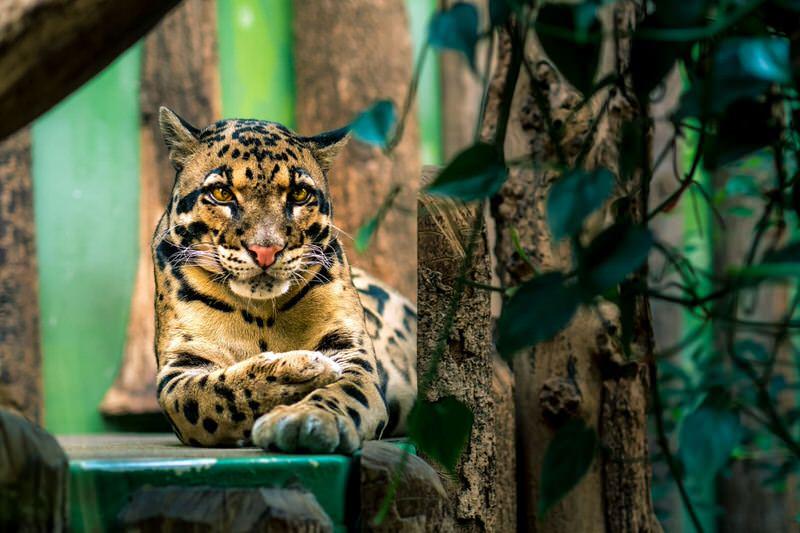 Leopardo longibando