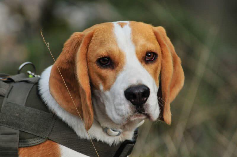 1604171795 967 Las 10 mejores razas de perros con un increible sentido