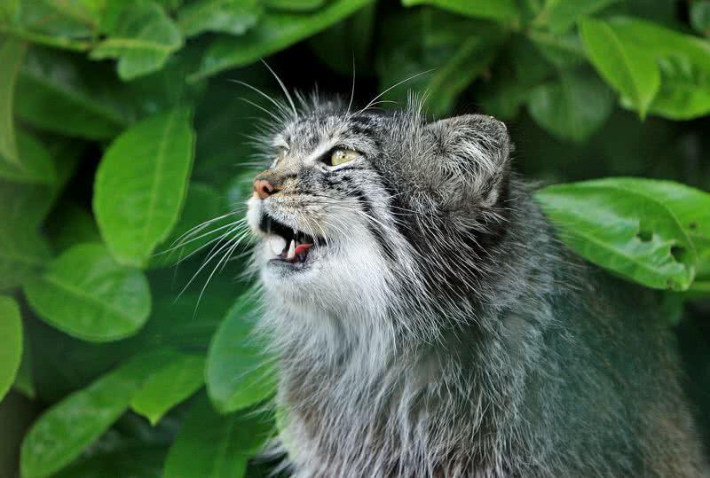 gato pallas