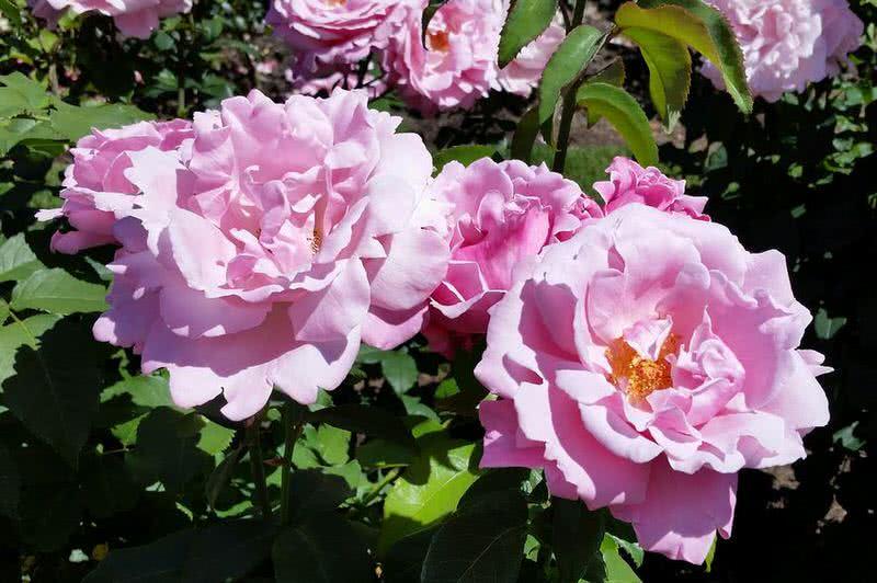 rosa dulce del día de los caídos