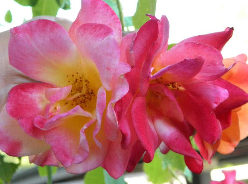 hermoso abrigo de josephs rosa