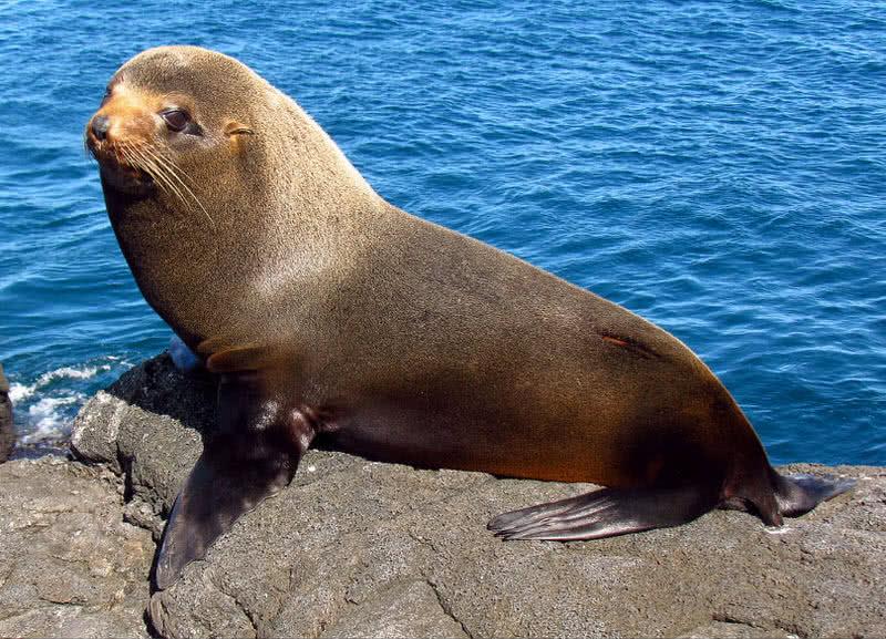 Lobo marino de Galápagos