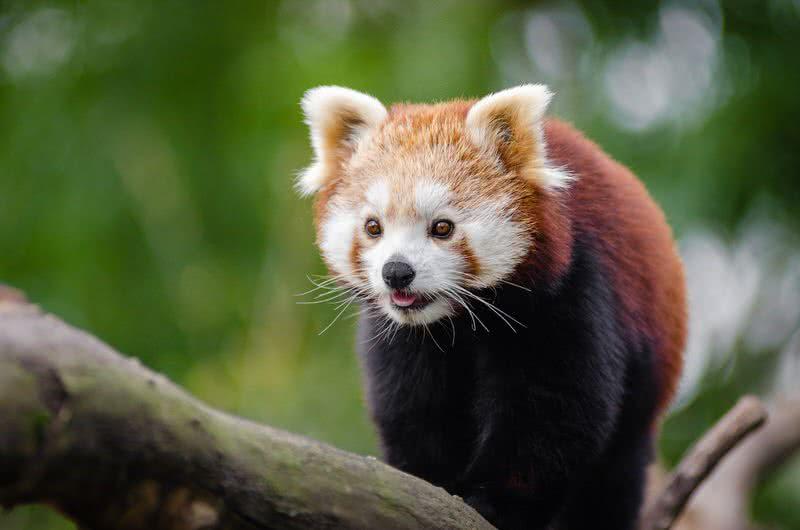 1604259576 772 Los 10 animales en peligro de extincion mas bellos