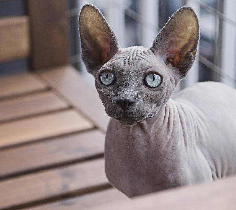 1604347482 751 Las 10 razas de gatos mas pequenas del mundo