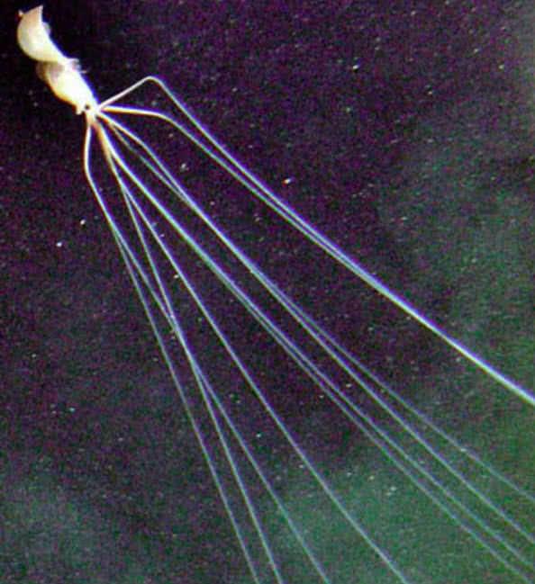 Calamar de aleta grande