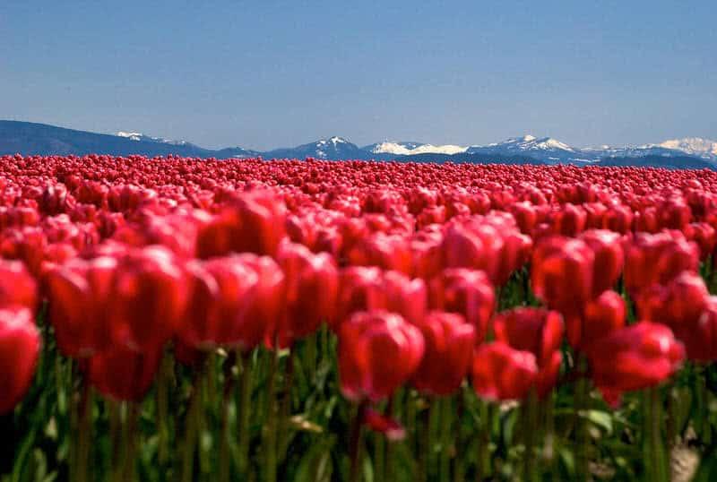 campo de tulipanes skagit