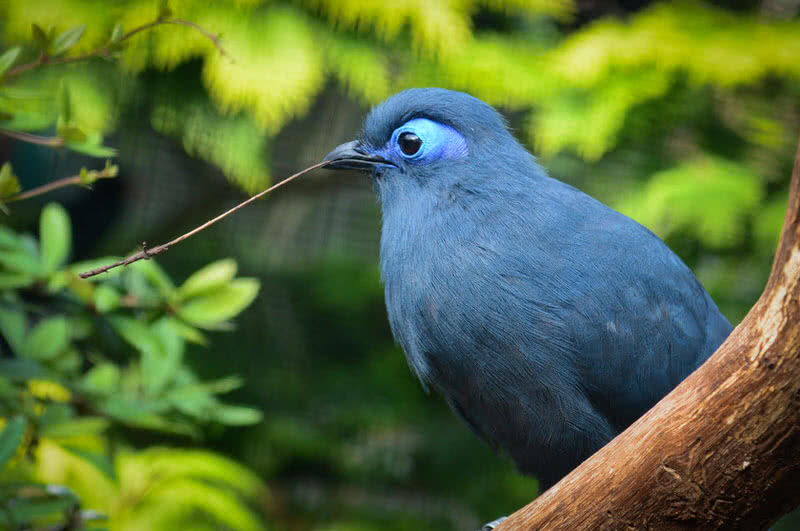 coua azul