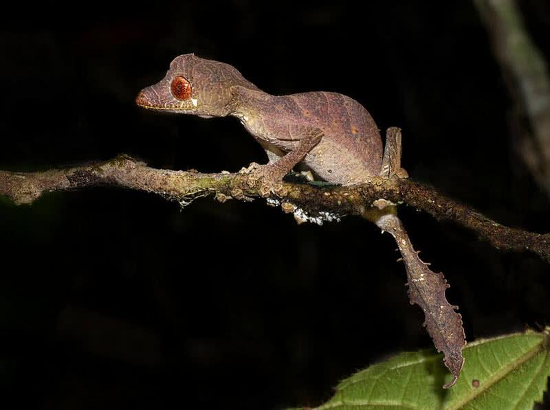 gecko de cola de hoja