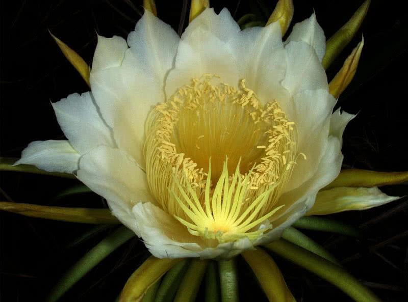 cereus en flor de noche