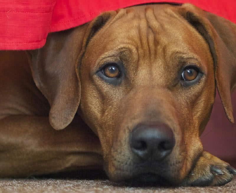 1605132064 684 Los 10 mejores perros guardianes para la seguridad