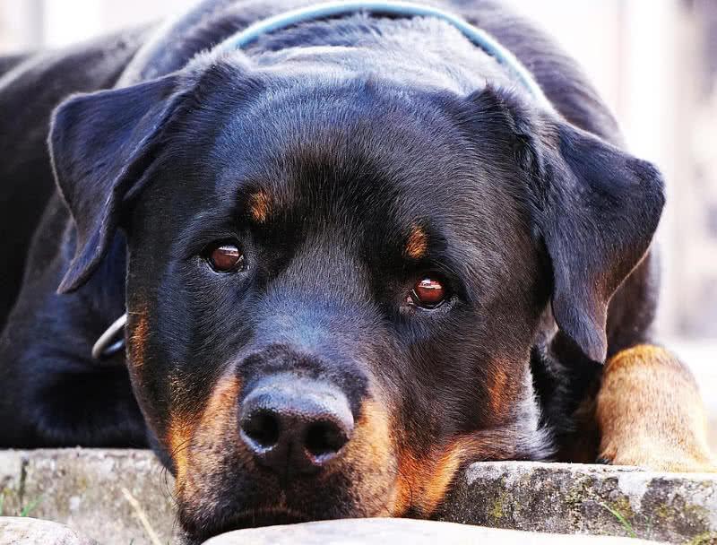 1605132064 771 Los 10 mejores perros guardianes para la seguridad
