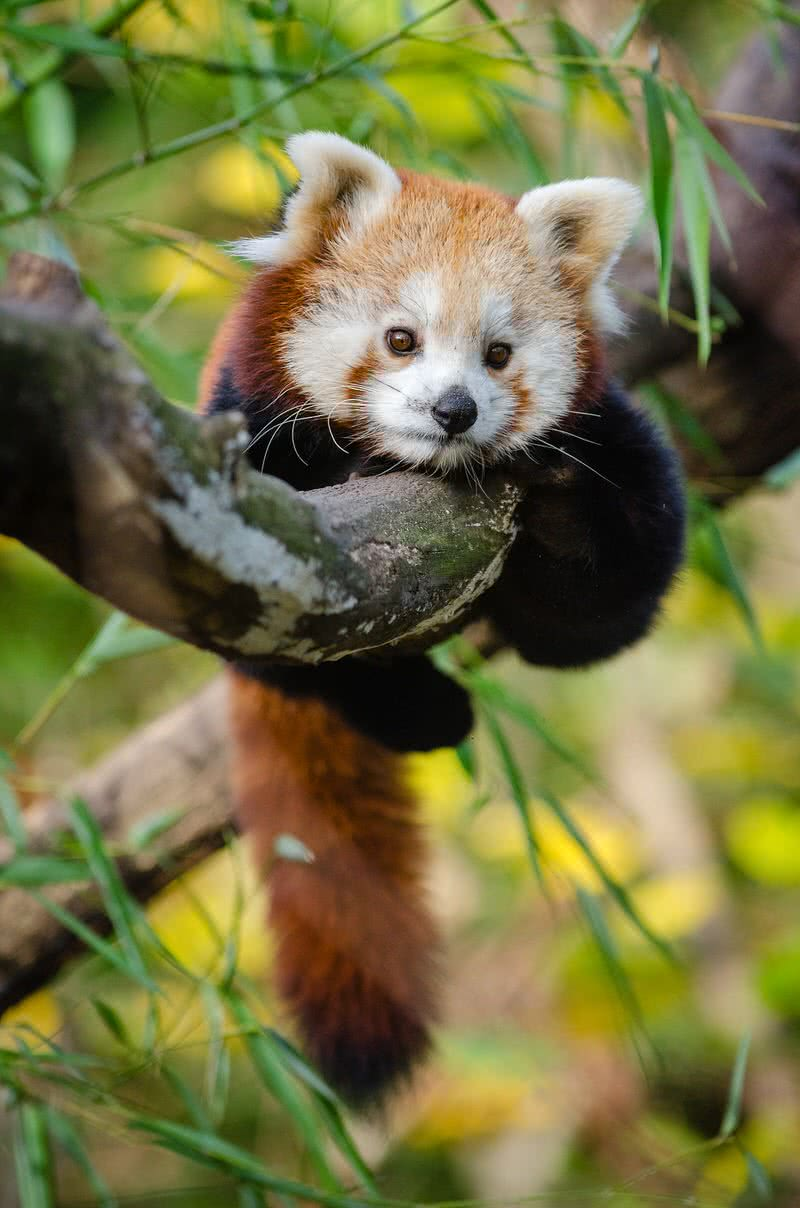 panda rojo bebé