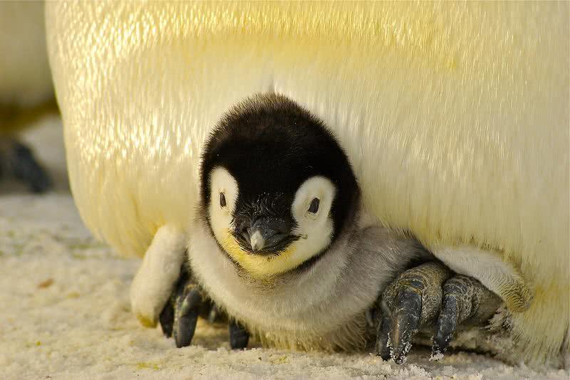 pingüino bebé