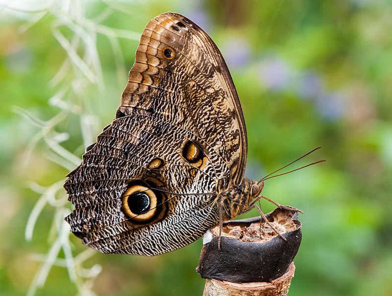 mariposa búho gigante del bosque