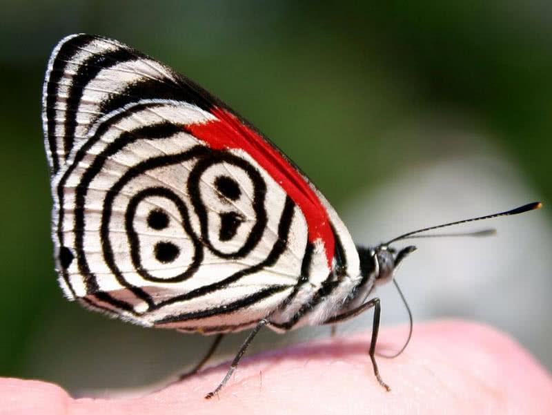 Ochenta y ocho mariposa