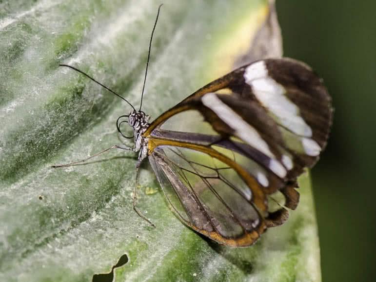 Mariposa de alas de cristal