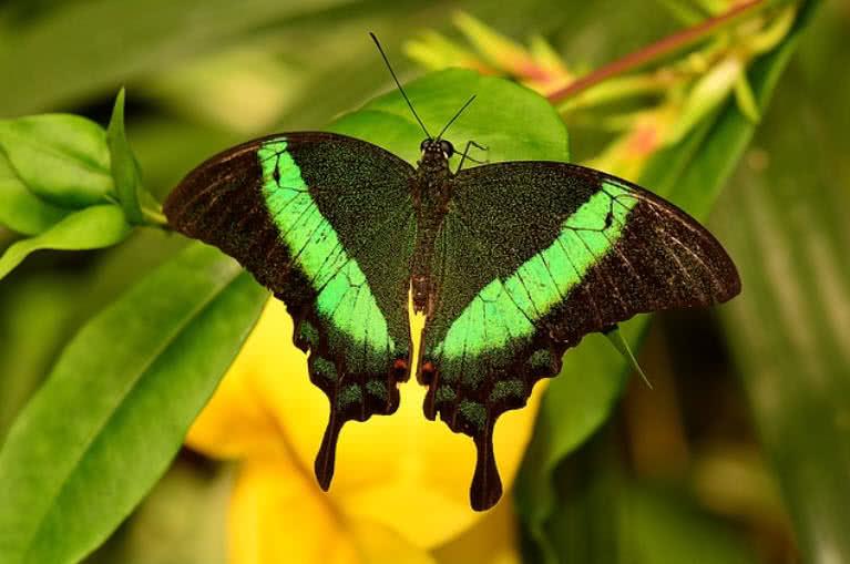1605230561 999 10 mariposas mas inusuales y hermosas del mundo