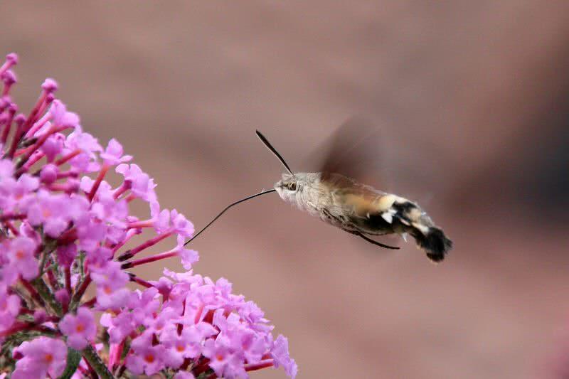 polilla halcón colibrí