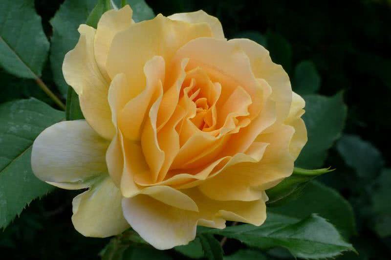 1605318088 162 10 rosas intensamente fragantes para plantar en tu jardin