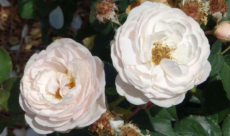 buena herencia fragante rosa