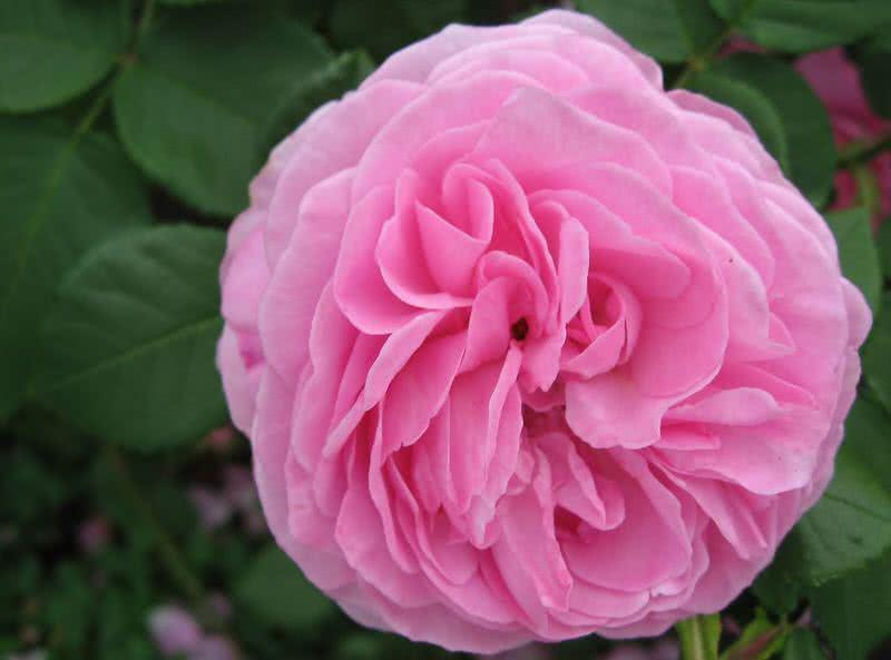 fuerte fragante louise odier rose
