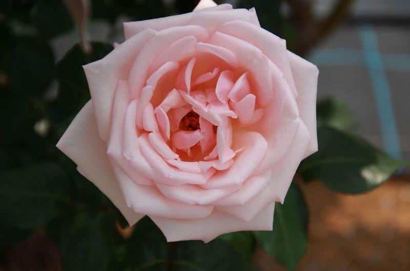 rosa de alteza real de olor intenso