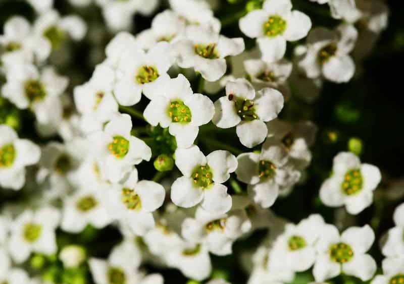 flor de aliso dulce