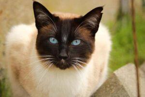 1605383931 655 Las 10 razas de gatos mas bellas del mundo