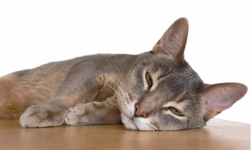 gato abisario