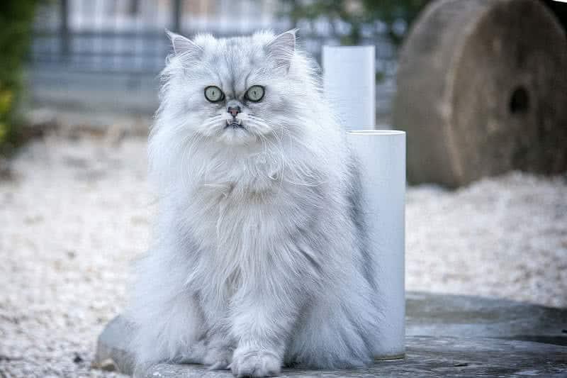 1605383932 786 Las 10 razas de gatos mas bellas del mundo
