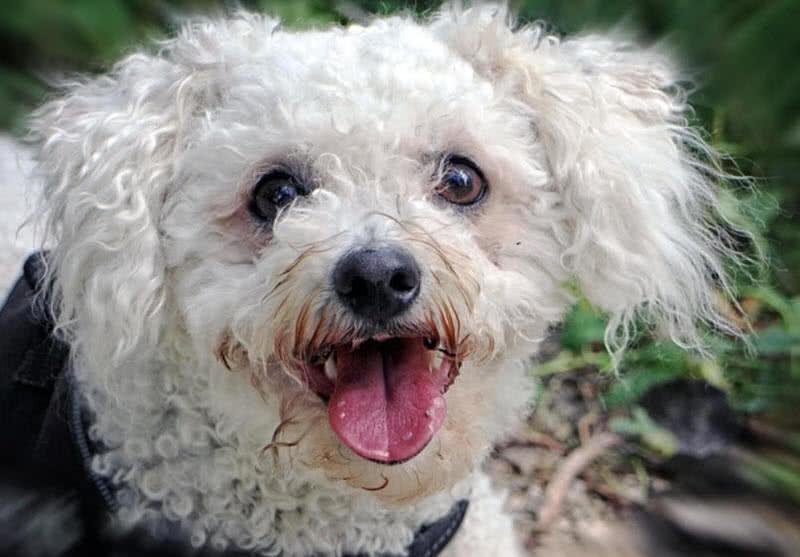 1605449658 768 Las 10 razas de perros mas pequenas del mundo