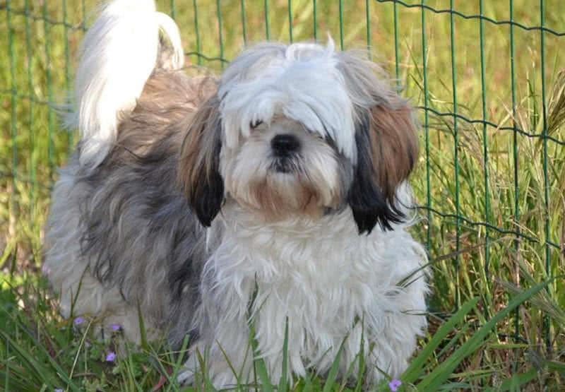 1605449658 922 Las 10 razas de perros mas pequenas del mundo