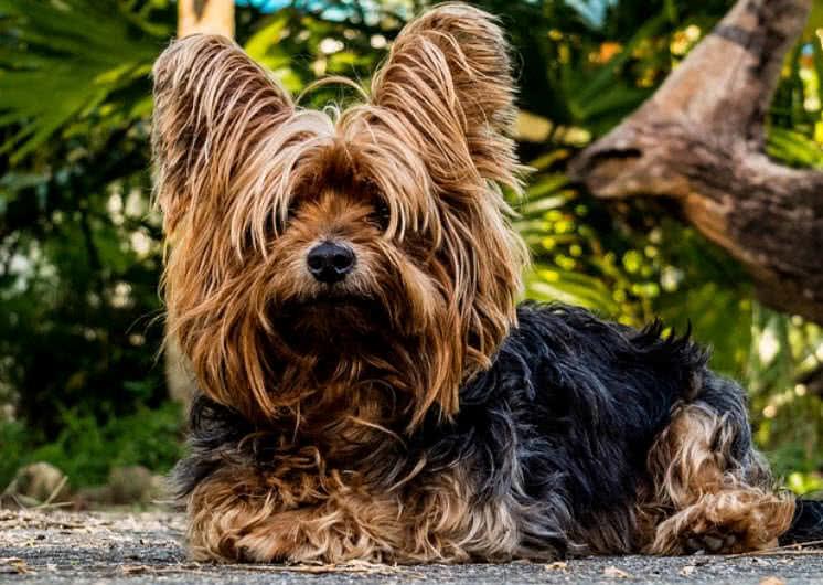1605449659 136 Las 10 razas de perros mas pequenas del mundo