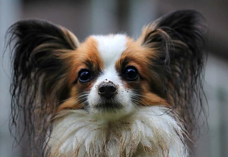 1605449659 208 Las 10 razas de perros mas pequenas del mundo