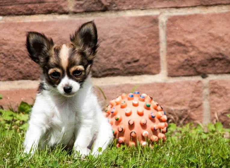 1605449659 549 Las 10 razas de perros mas pequenas del mundo