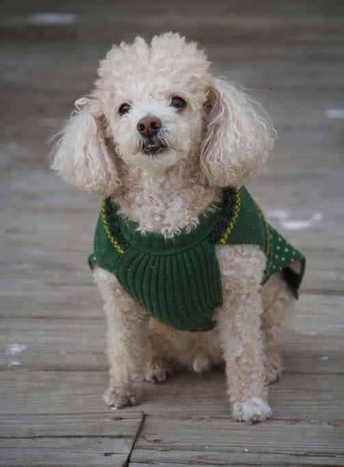 1605449659 996 Las 10 razas de perros mas pequenas del mundo