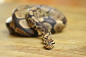 1605460906 18 Top 10 de serpientes no venenosas del mundo