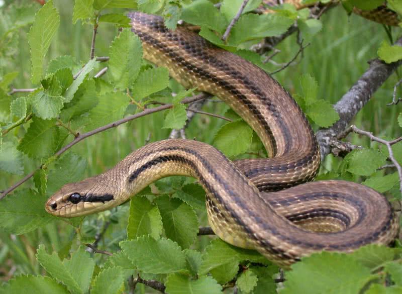 serpiente de cuatro líneas