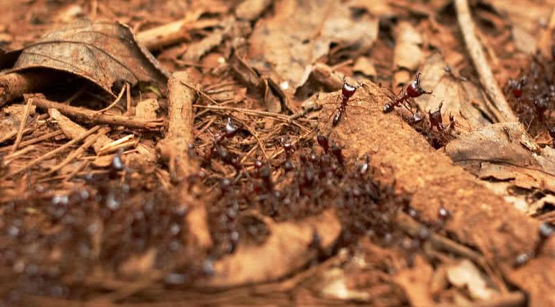 hormigas conductoras