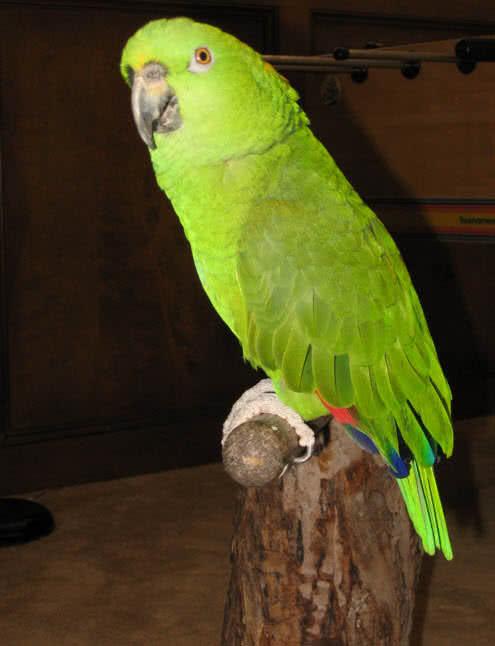 Amazona nuca amarilla