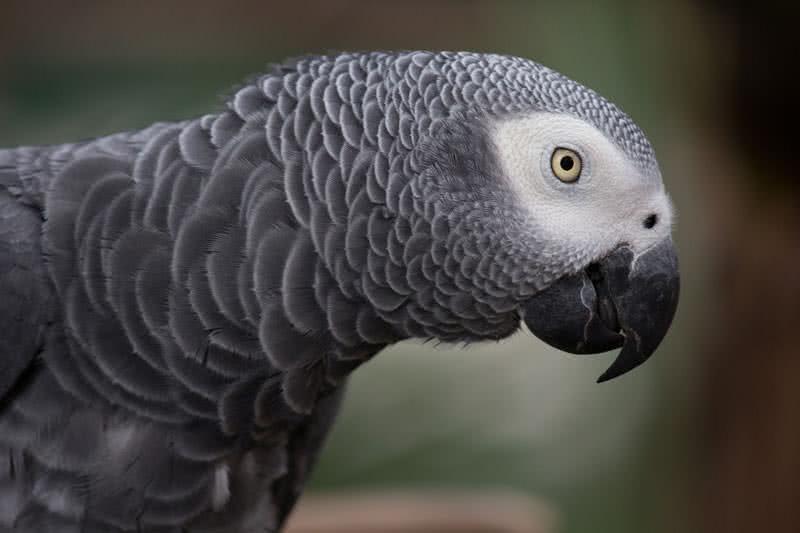 pájaros parlantes más inteligentes