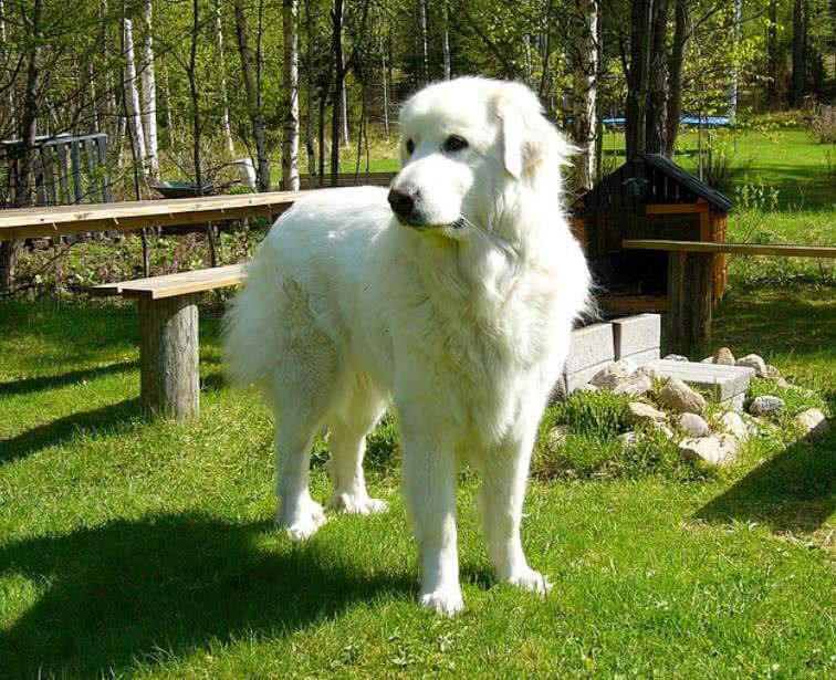 1605505633 541 Las 10 razas de perros mas grandes del mundo