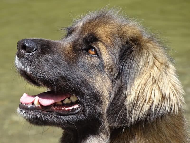 1605505634 27 Las 10 razas de perros mas grandes del mundo