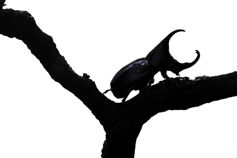 escarabajo hércules
