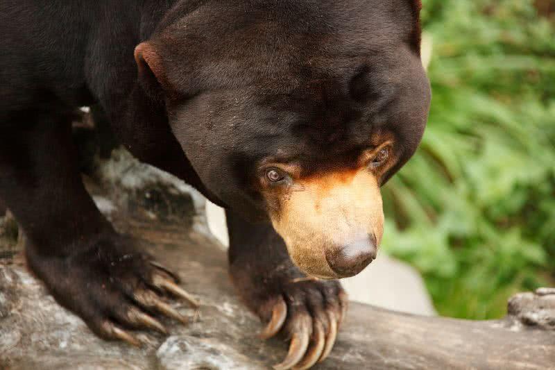 oso del sol