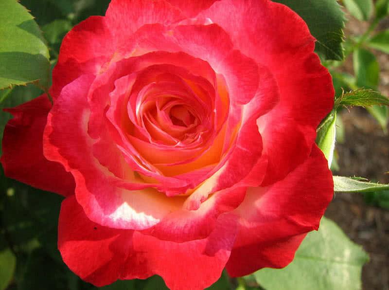 1605571546 875 10 rosas mas hermosas para tu jardin