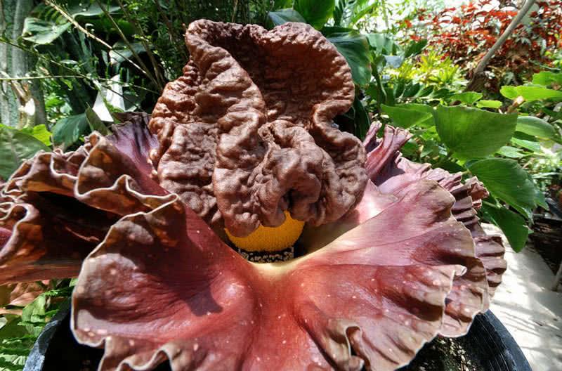 flor de cadáver